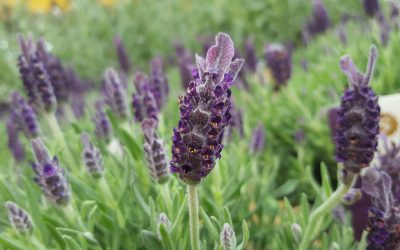Top mosquito repelling plants for the garden!