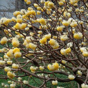 Edgwortha chrysantha