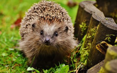 Hedgehog-friendly Gardening